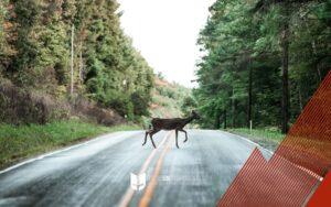 cervo attraversa la strada nel bosco
